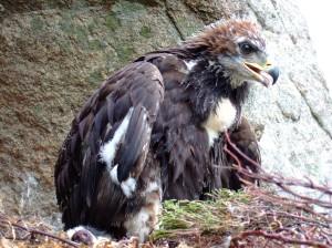 Golden eagle fledgling