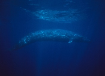 blue-whale-nicklen-xl